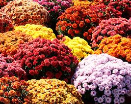 250 pcs Dendranthema Grandiflorum Mixed Flower Seeds Very elegant - $15.89