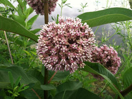 8 Variety Seeds - Common Milkweed Attract Monarch Butterflies Seeds #SMS60 - $12.99+