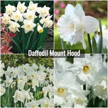 Daffodil Mount Hood Bulbs - Snow White Narcissus Plant Bulb Size 12/14 cm - $17.00+