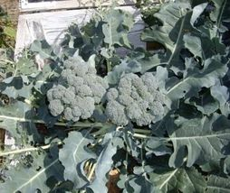 SHIPPED From US,PREMIUM SEED:150 Particles of Waltham 29 Broccoli, Hand-... - $24.99