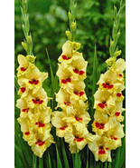 100 Yellow Red Gladiolus Flower Seeds Beautiful Garden Plants - $4.20