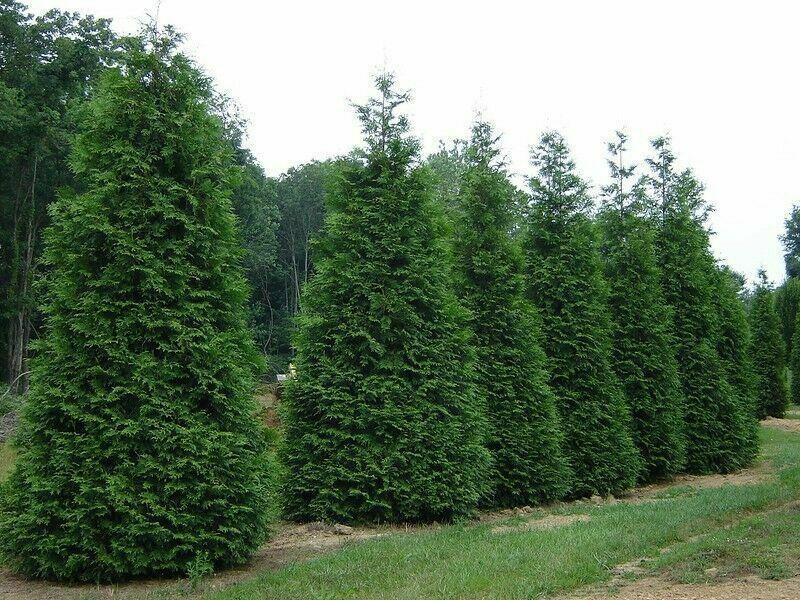 """Green Giant 12-18"""" quart pot Arborvitae Thuja plicata"""