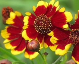 SHIP FROM US Coreopsis, Tall Plains Coreopsis Flower Seeds - Fresh SPT5 - $8.00