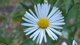 Organic Boltonia, False Aster, Butterflies, Pollinators - $3.50