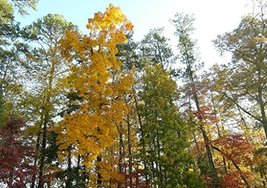 10 Cuttings of Hickory Tree (Unrooted Cuttings) - $28.71