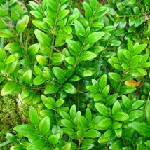 50 Seed Wintergreen Boxwood Heirloom Perennial Ornamental, DIY Beautiful... - $8.99