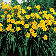 Stella de Oro Daylily 10 fans/roots reblooming yellow blooms image 4
