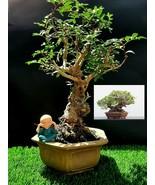 Bonsai Pistacia lentiscus tree Mastic Tree - Pistachier Lentisque Very o... - $329.82