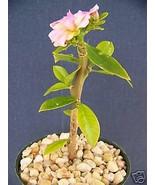 """SHIP From US, 4"""" Pereskia grandifolia, succulent plant cacti ECC - $44.99"""