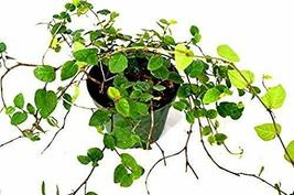 Houseplants - Creeping Fig Plant - 3'' Pot - Indoor Yard - Live Plant Be... - $4.99