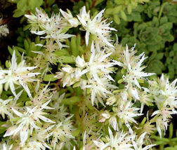 200 Bulk Seeds Cliff Stonecrop Sedum Glaucophyllum, DIY Decorative Plant ov04 - $33.99
