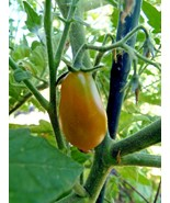 Submarine Blush - by far the best yellow pear tomato - $5.00