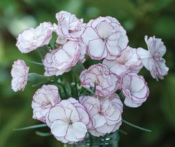 50pcs Graceful Rare Hardy Dianthus 'Crimson Rim' Carnation Flower Seeds IMA1 - $14.84