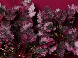 "Begonia Plant Harmony's Black Rose 4"" Pot Rex - €8,37 EUR"