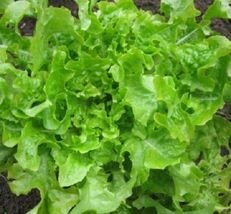 SHIP FROM US LETTUCE, Salad Bowl Green Leaf Heirloom - Fresh &Hand-packa... - $10.00