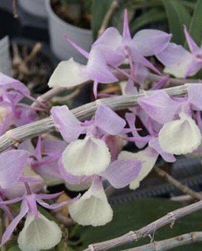 Dendrobium  pierardii Orchid Plant Species ::  @@