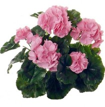 100Pcs/bag Bonsai Sanguineum Geranium Flower Plants Pelargonium Peltatum Seeds - $8.82
