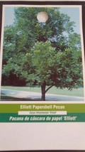 Elliott Papershell Pecan Tree Shade Trees Live Healthy Plant Large Pecans Nuts - $123.70