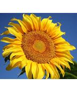 SHIP From US, 100 Seeds Grey Stripe Sunflower, DIY Garden Flower AM - $33.99