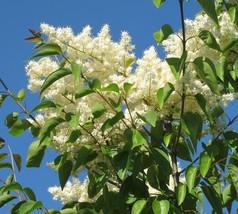 20 Seeds ~ Peking Lilac Syringa Pekinensis - $9.99