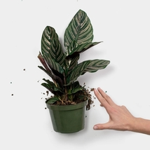Live Plant Calathea ornata PinSripe Pin Stripe Prayer Plant  - $20.99