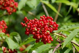 One live rooted plant Red Berried Elderberry (Sambucus racemosa), Garden... - $65.00