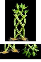 Lucky Bamboo Live Feng Shui Plant 1 Set of Fence Palm or Trellis 10-12''... - €19,76 EUR