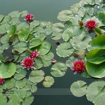 1 Professional Pack 1 seed / pack Mini Dark Red Bonsai Lotus Flower Seeds Garden - $5.90