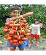 Cheap China seeds 5 Cashew Tree seeds Anacardium Occidentale Tropical Ne... - $9.49