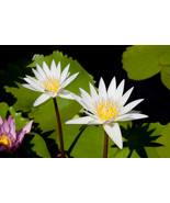 Flor De Loto, Fine Art Photos, Paper, Metal, Canvas Prints - $40.00 - $442.00