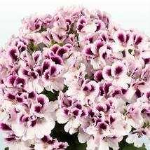 10 White Purple Geranium Seeds Perennial Flower Seed Flowers Bloom - $7.68
