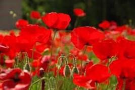 RED POPPY, 1000 SEEDS, ORGANIC, WORLDS MOST POPULAR FLOWER, STUNNING RED... - $10.99
