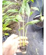 "Tasty Thai Ginger Galanga Plant, Rhizome, and Roots 6-8""  5 plant FREE SHIPPING - $27.94"
