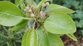 Pear Tree Flowers DIGITAL JPG Amateur Picture Photo Image - $0.90