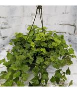 Ivy Green aka Hedera helix Foliage Hanging Live Plant Fit 5 Gallon Pot - $29.69
