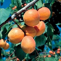 1 Starter Plant of Goldcot Apricot Tree - $69.30