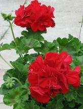 15 Seeds - Geranium Zonal Ringo 2000 Red - $10.25