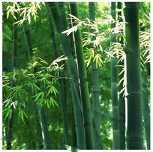 10Pcs Green Giant Moso Bamboo Plant Seeds Phyllostachys Aureosulcata Seed - $9.74