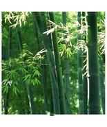 10Pcs Green Giant Moso Bamboo Plant Seeds Phyllostachys Aureosulcata Seed - $9.74