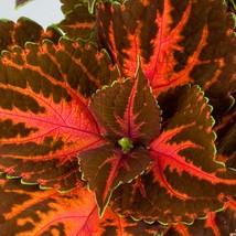 150 Coleus Seeds Rainbow Festive Dance Flower Seeds - Garden & Outdoor Living - $49.99