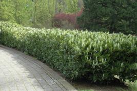 15 Schip Laurel shrub-hedge (Prunus Laurocerasus 'Schipkaensis') image 5