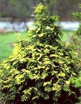 1 Starter Plant Of Techny Gold Arborvitae - Pot - $55.24