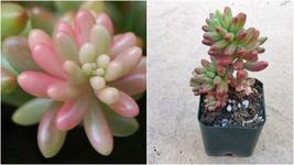 """Succulent Live Plant - Sedum x rubrotinctum 'Aurora' 4""""- Rare Plant - $49.99"""