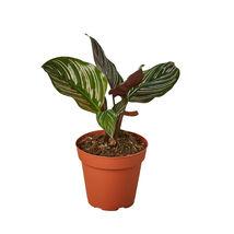"Live Plant - Calathea 'Ornata' - 4"" Pot - Houseplant - Outdoor Living - $50.99"