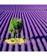 LAVENDER FRAGRANCE OIL - 8 OZ - FOR CANDLE & SOAP MAKING BY VIRGINIA CAN... - $14.79