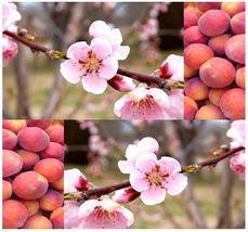3 Nemaguard Peach Tree Seeds - Prunus persica nemaguard  - $4.50