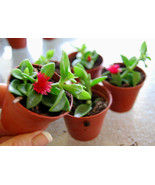 Lot Set of 3 Starter Plants - Red Apple Baby Sun Rose Aptenia Cordifolia - $10.68