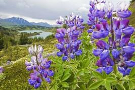 2800+1 OZ SKY/DWARF LUPINE Seeds Native Northwest Wildflower Spring/Summ... - $7.50