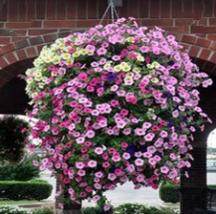 100 pcs Heirloom Mixed Hanging Petunia Flower interest your garden - $13.95