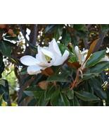 Live Plant Little Gem Southern Magnolia Tree Full Gallon Pot - $79.99